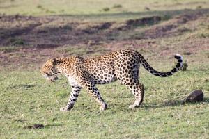 猫サファリ@マラノース私営保護区
