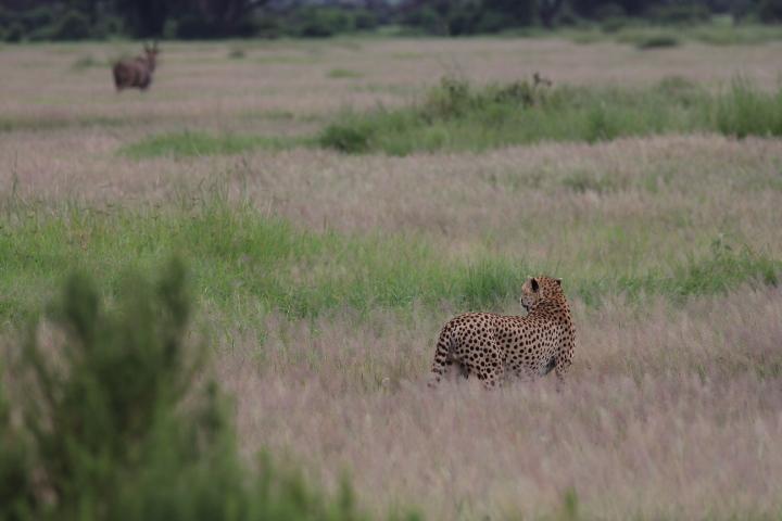 cheetah and erand